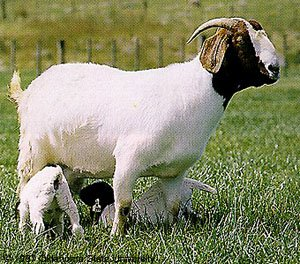 5 Tips for Effective Goat Breeding