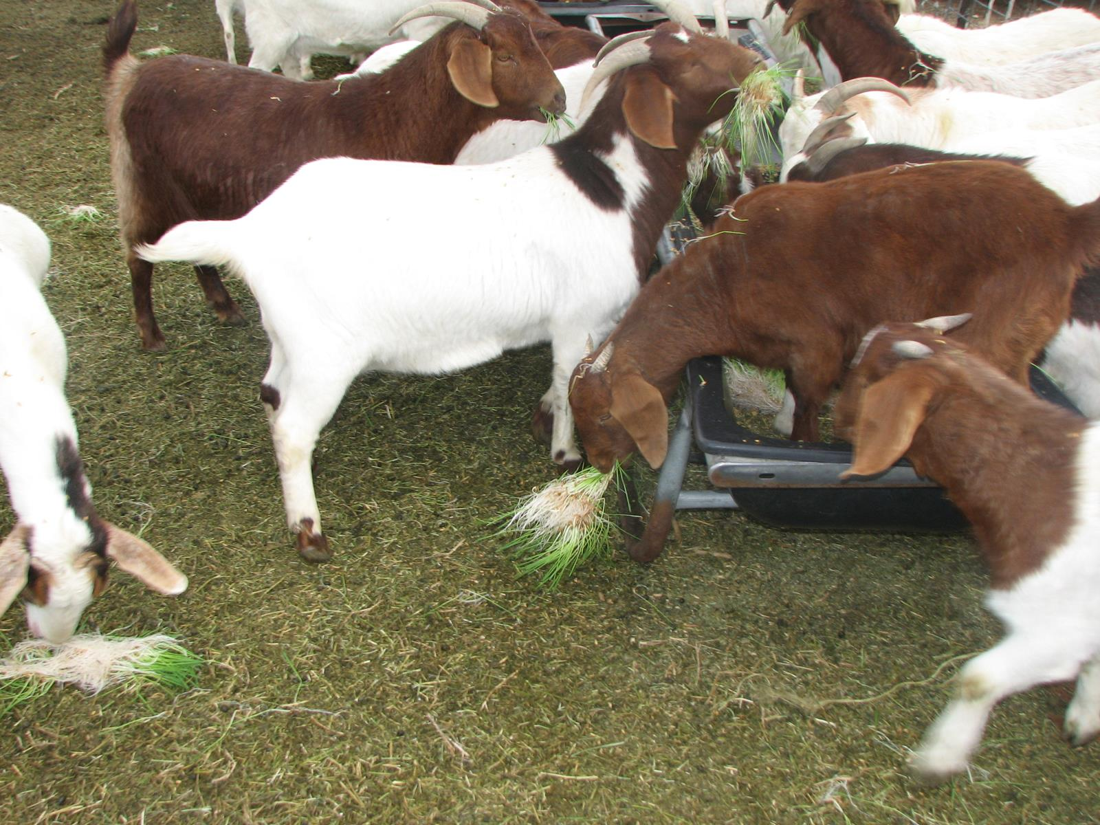 Goat Feed: Your 5-Minute Guide
