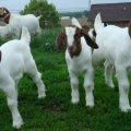 How to Choose Good Boer Goat Breeders