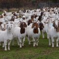 start_boer_goat_farming