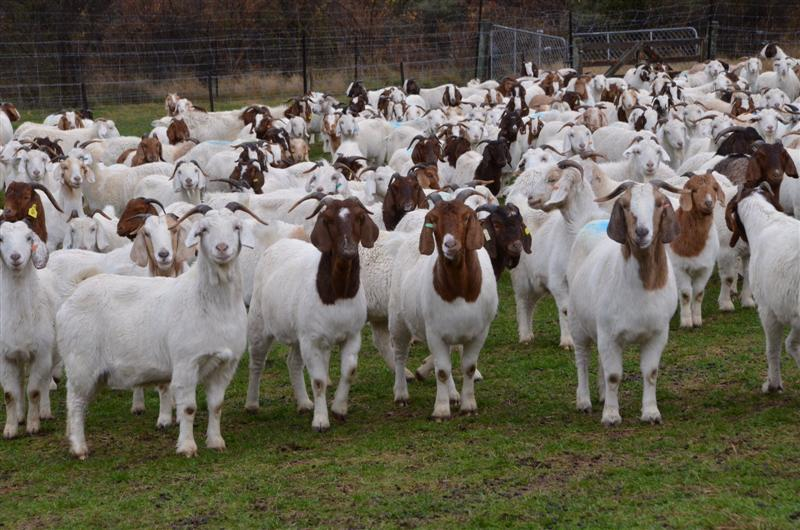 Raising Goats for Profit (2018): Complete Beginner's Guide