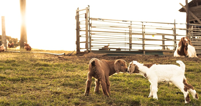 Boer Goats Explained