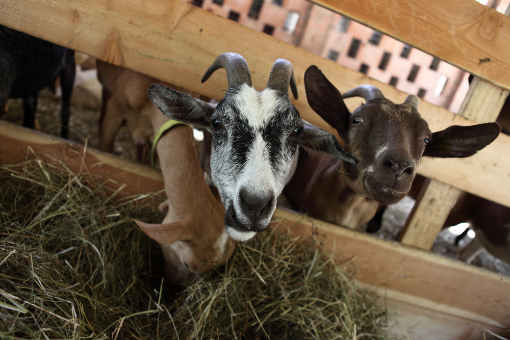 How to Find Boer Goat Breeders - Boer Goat Profits Guide - photo#35