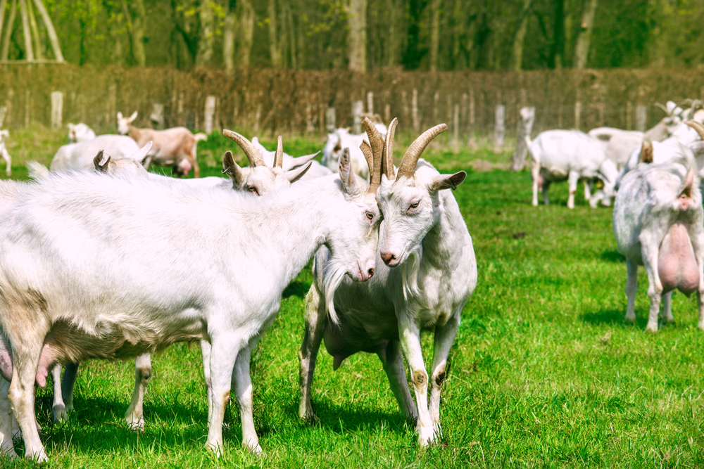 White goats in the countryside