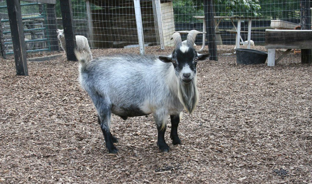 Raising Pygmy Goats (2020): Ultimate Guide for Beginners on goat barns, goat fence panels, goat ranch in the us, goat farm, goat shelter, goat playground, goat blankets, goat pens, goat of america, goat tower, goat vaccine schedule, goat skinning machine, goat fencing, goat housing, goat on camel, shed plans, goat farming business plan, goat houses hutches,