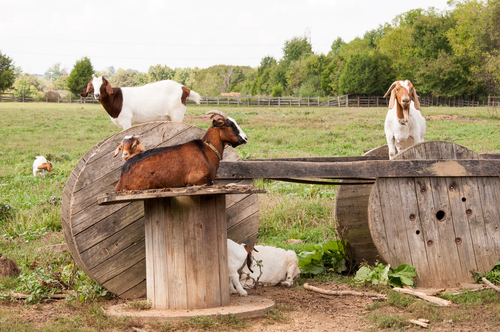 Boer Goat Life Cycle and Breeding