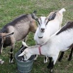 How much Milk does an Alpine Goat Produce?