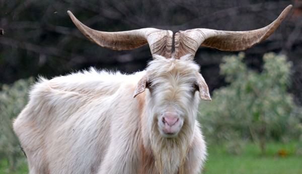 Raising Kiko Goats: Ultimate Guide for Beginners - Boer Goat Profits
