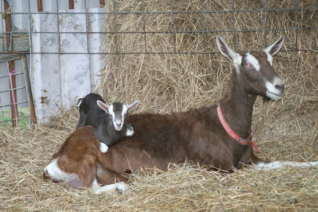 Raising Toggenburg Goats 2020 Ultimate Guide For Beginners