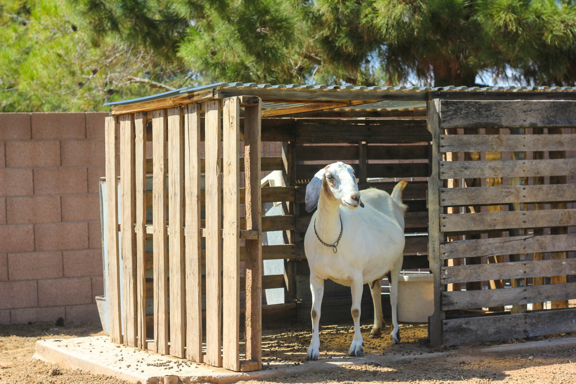 Raising Nubian Goats (2020): Ultimate Guide for Beginners on goat barns, goat fence panels, goat ranch in the us, goat farm, goat shelter, goat playground, goat blankets, goat pens, goat of america, goat tower, goat vaccine schedule, goat skinning machine, goat fencing, goat housing, goat on camel, shed plans, goat farming business plan, goat houses hutches,