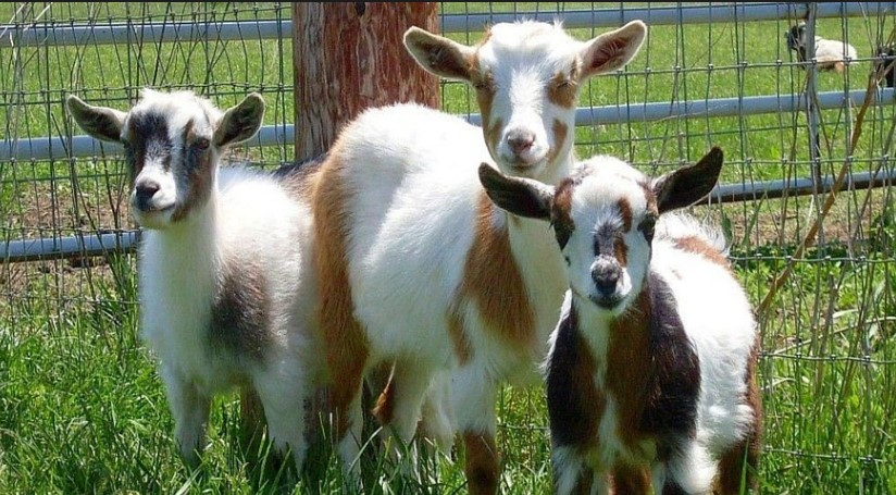 Raising Goats for Profit (2018): Complete Beginner's Guide to Meat