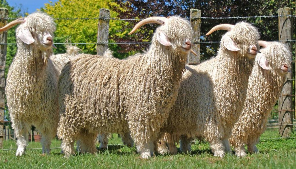 Angora Goats For Sale Directory Of Angora Goat Breeders
