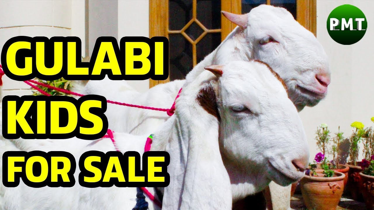 Raising Gulabi Goats 2020 Ultimate Guide For Beginners It was previously commanded by sampat pal. raising gulabi goats 2020 ultimate
