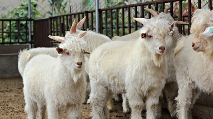 group of cashmere goats in pen