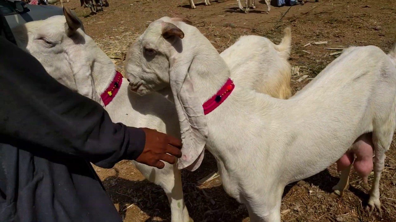 Raising Gulabi Goats 2020 Ultimate Guide For Beginners The word gulabi is urdu name, means the color of pink. raising gulabi goats 2020 ultimate