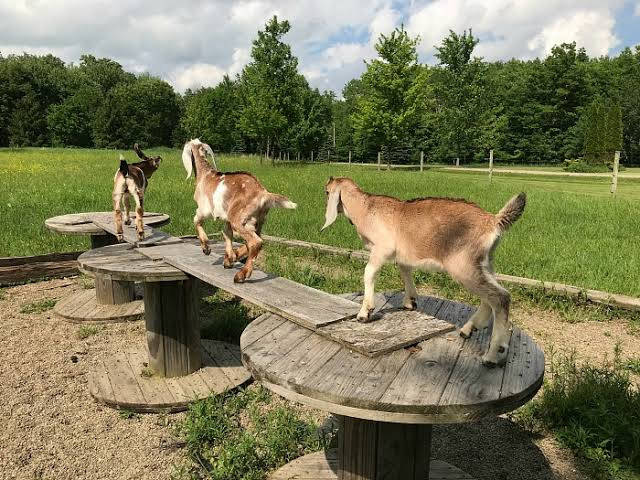 Goat Playground Ideas Plans Amp Equipment To Get You Started
