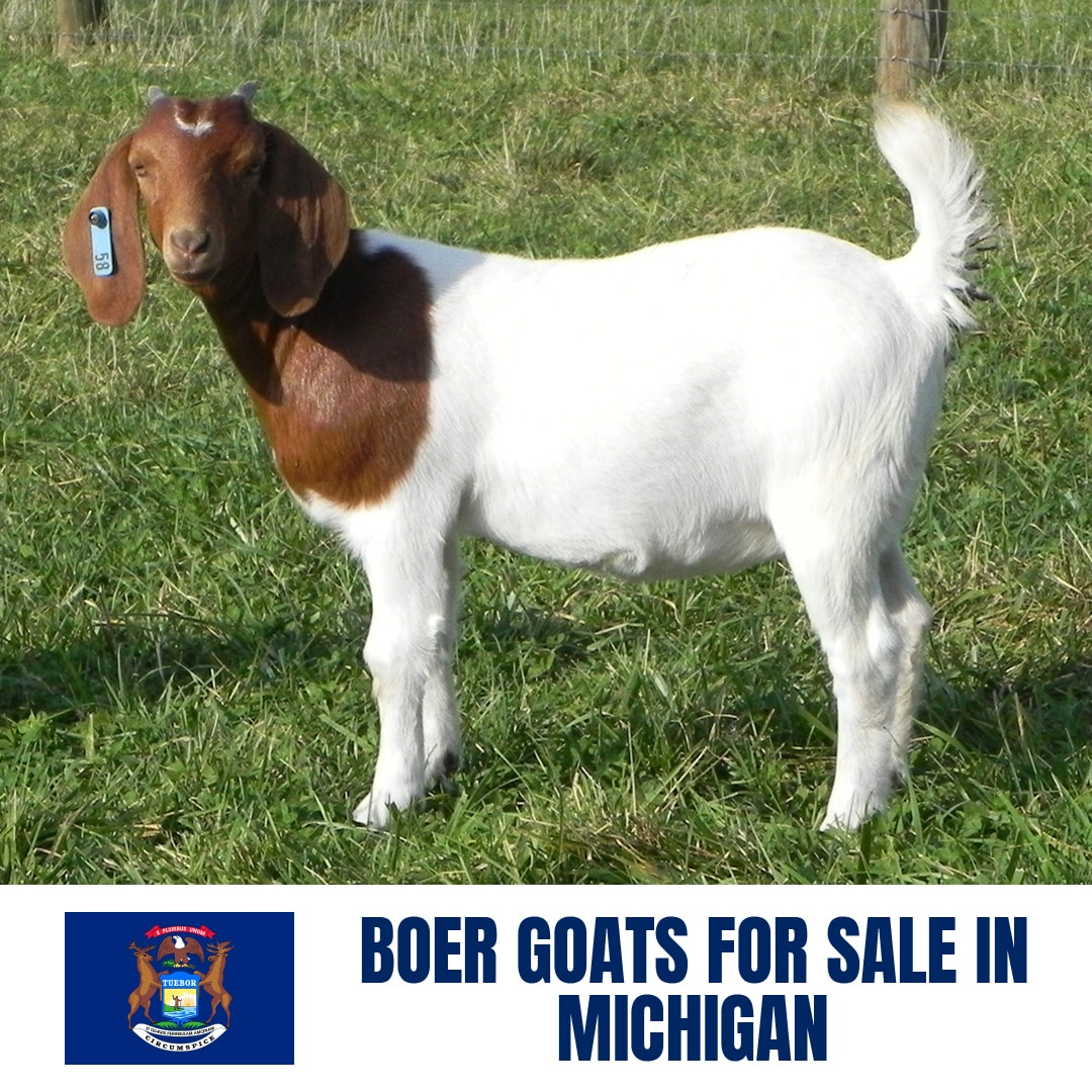 Boer Goats For Sale In Michigan Current Directory Of Boer Goat Breeders In Michigan Boer Goat Profits Guide