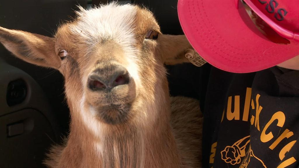 Goat showing signs of illness