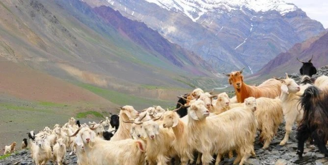 Herd of Cashmere goats on slope of mountain