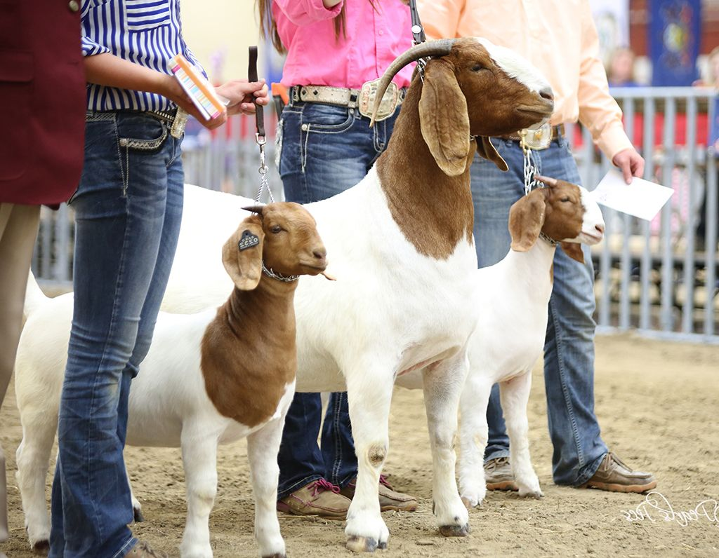 3 Boer Goats in the Line up to be judged