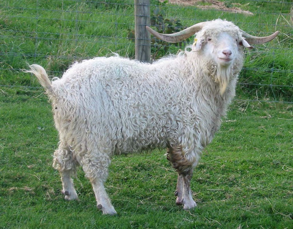 Angora goat.  Note the curly fluffy coat.