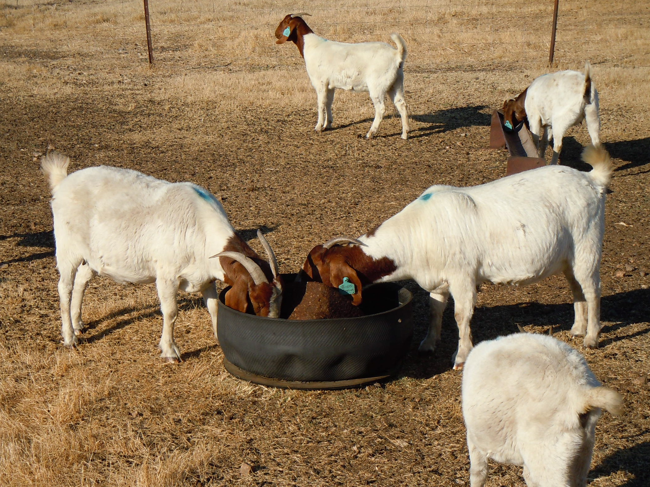 pregnant goats eating in pen