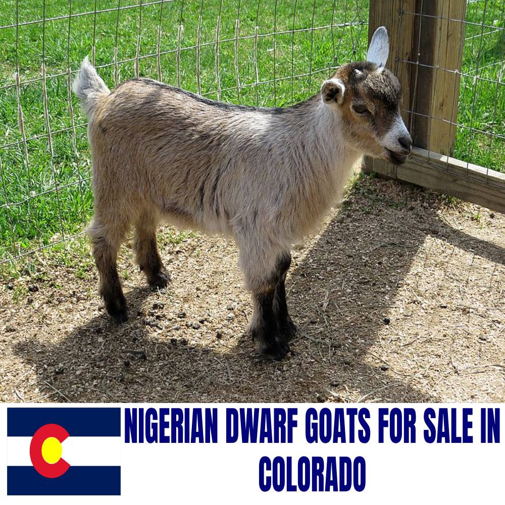 Nigerian Dwarf Goats For Sale In Colorado Current Directory Of Nigerian Dwarf Goat Breeders In Colorado Boer Goat Profits Guide