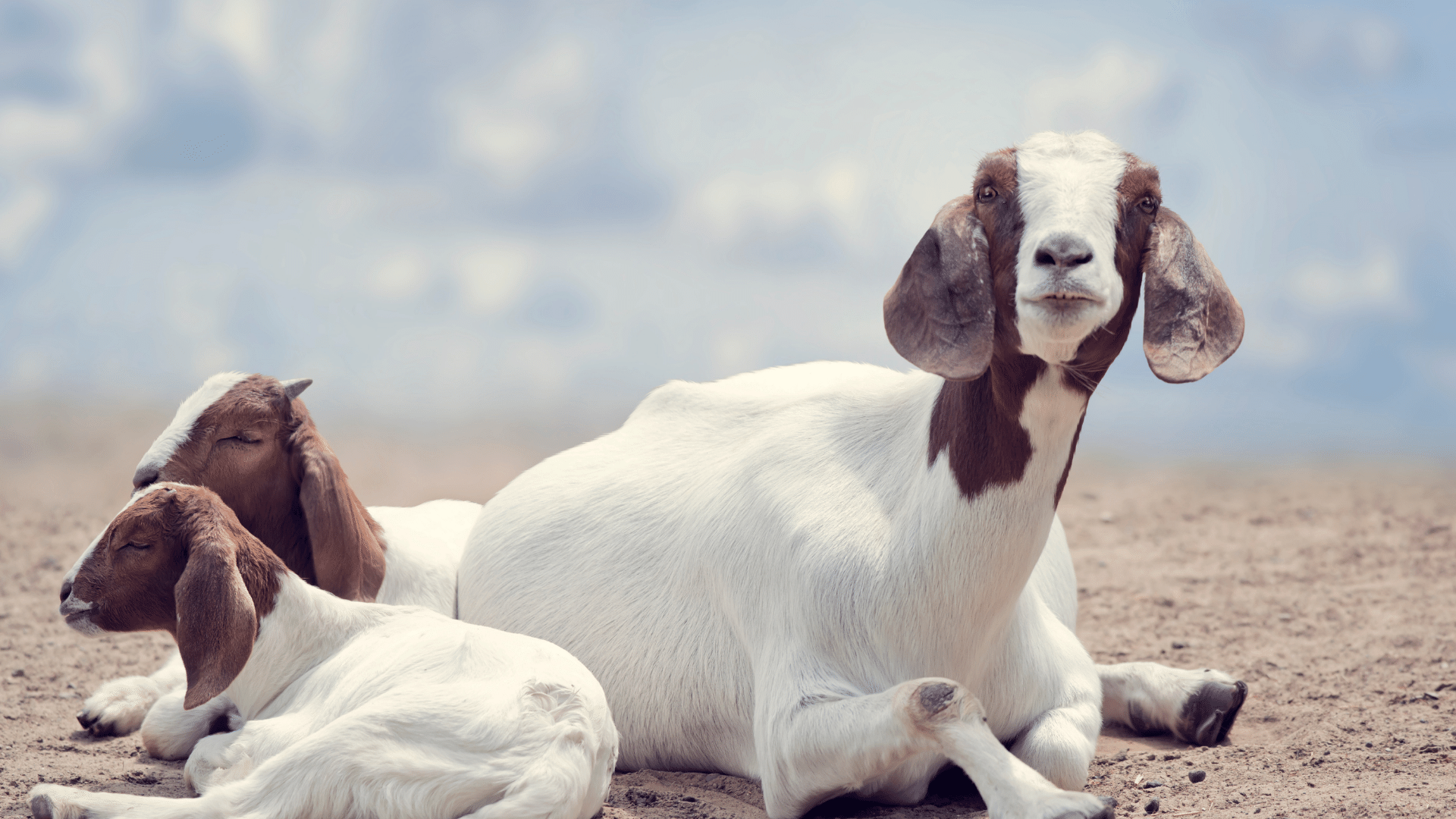 Boer Goats Mother and Kids